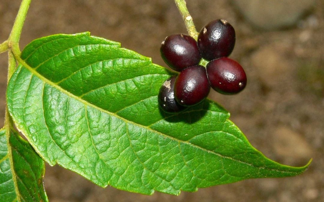 The Java brucea, used in traditional Malay medicine, holds potential as a natural remedy for diabetes