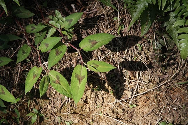 The Chinese knotweed is a natural remedy for the flu