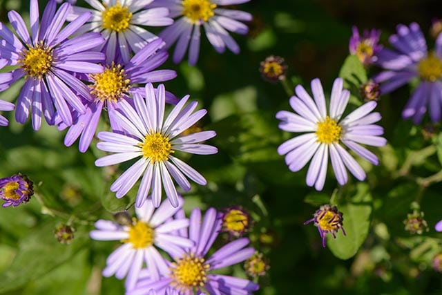Protect your eye health with Korean starwort — especially if you're diabetic
