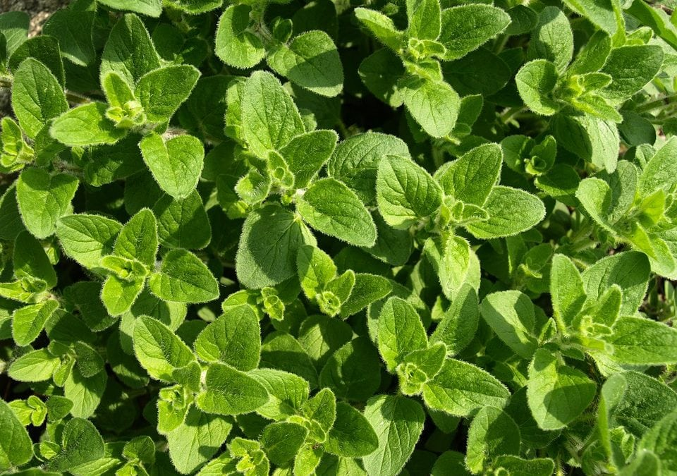 Step-by-step guide to effortlessly grow oregano