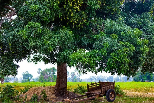Mango tree extract could prevent iron deficiency