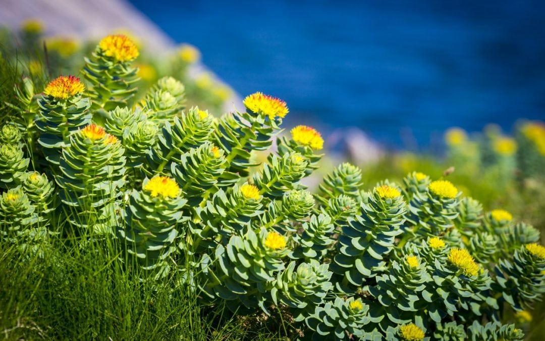 Fight burnout with Rhodiola rosea