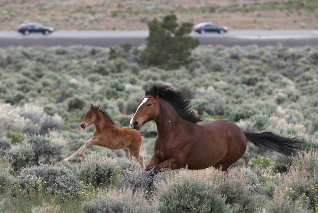 Lawsuit against Nevada tribe over horse roundup dismissed