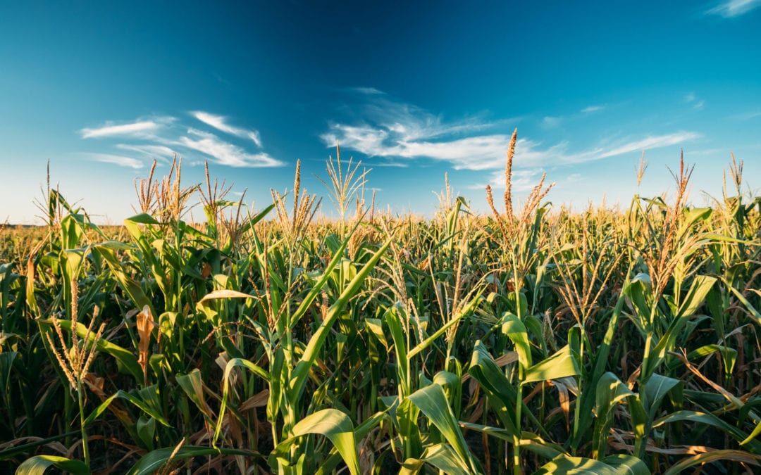 Recent analysis finds that atrazine is contaminating the drinking water in corn-growing areas of the Midwest and beyond