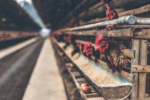 Oklahoma Agriculture Board of Directors Vote on Poultry Operation Setbacks