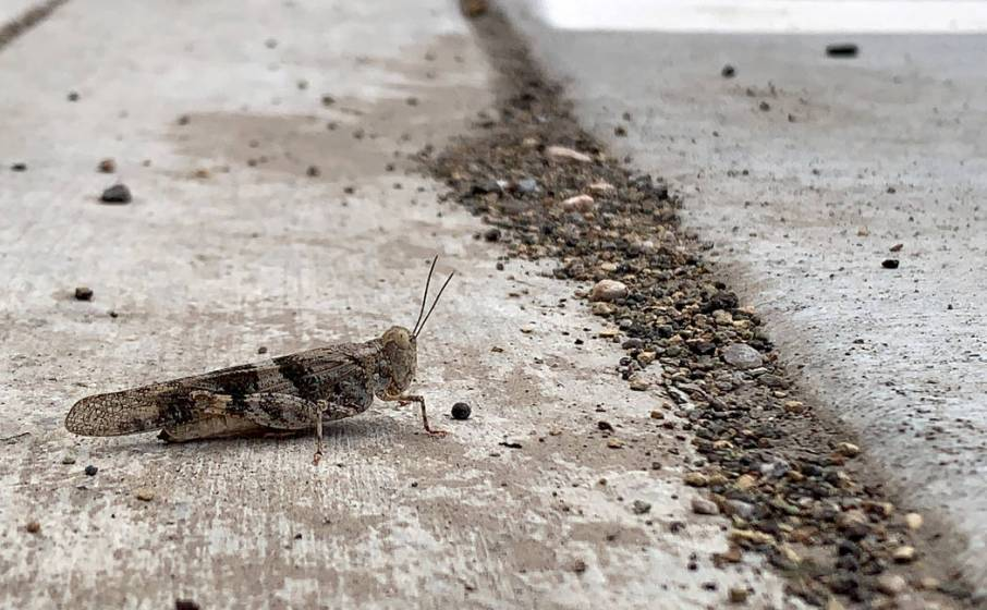 Grasshoppers invade Las Vegas Valley after unseasonably wet spring