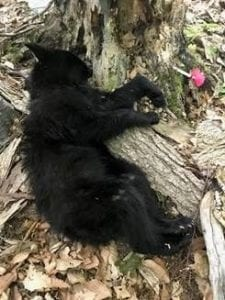 Baby-Bear-Cub-225x300 Injured Bear Cub Rescued in Franklin County by DEC July 28 th [your]NEWS