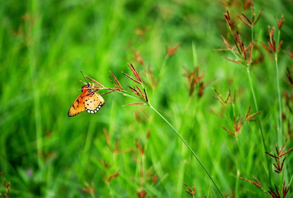 Agricultural chemicals and destructive practices caused butterfly numbers to plummet by 66%