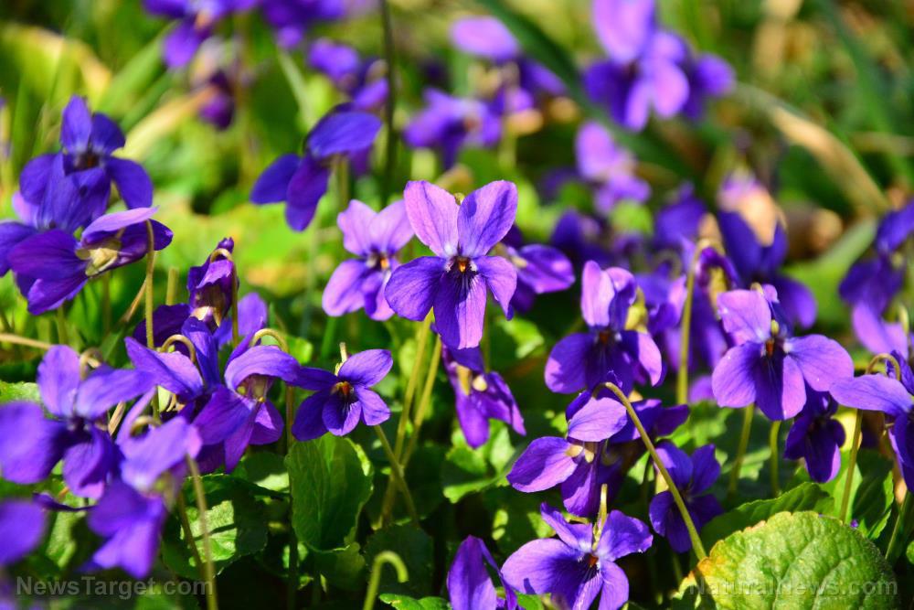 Pretty, edible, medicinal: 10 Ways to use wild violets
