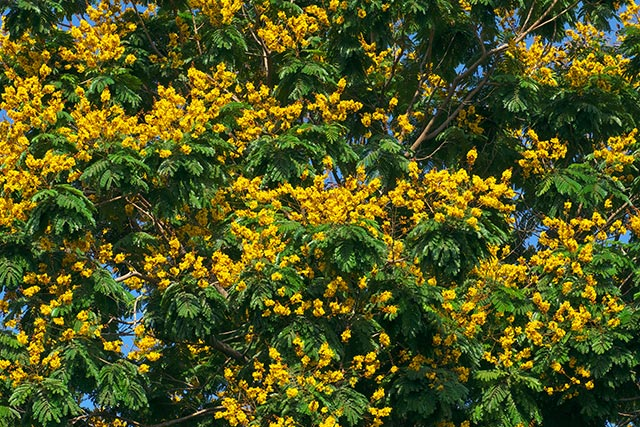 Brazilian ironwood, or leopard tree, found to reduce joint pain