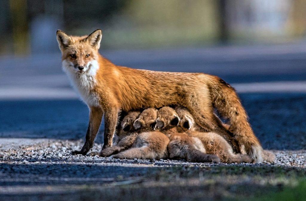 EPA reauthorizes use of 'cyanide bombs' to kill wild animals
