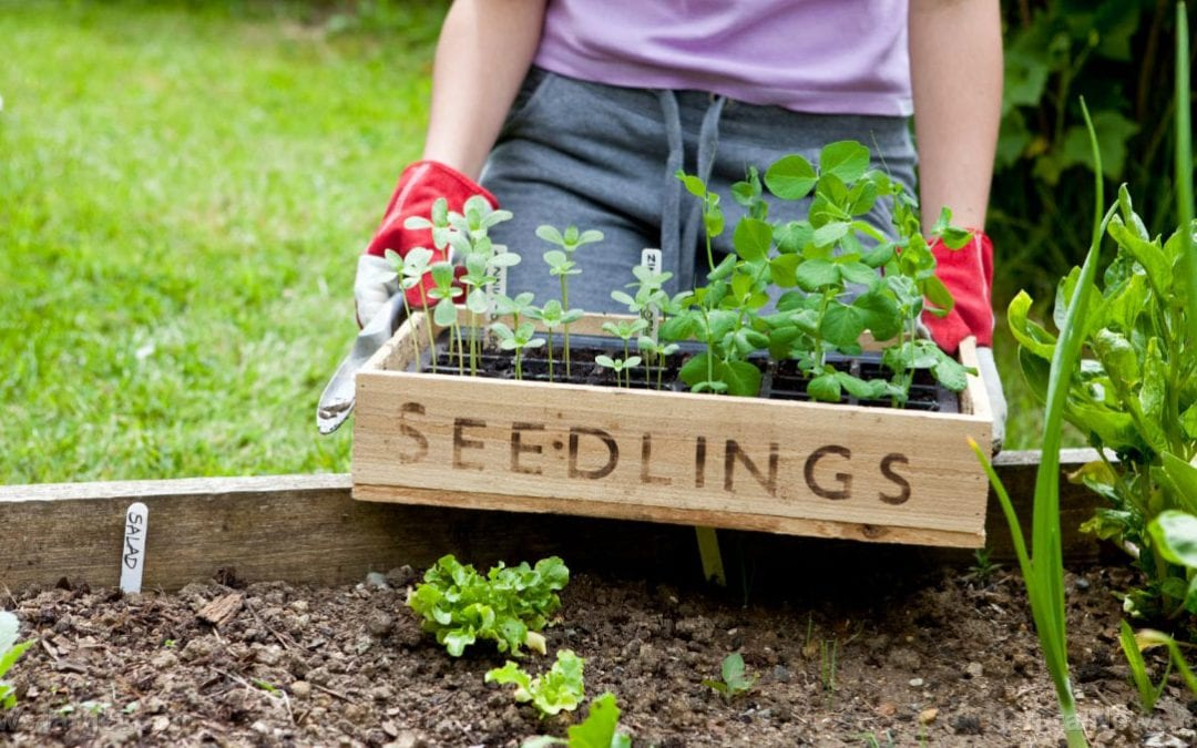 Gardening tips for seedling survival: The benefits of hardening off plants and vegetables