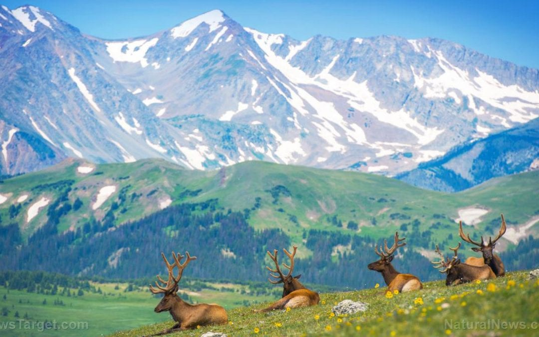 Scientists turn to elk to help restore damaged strip-mined land