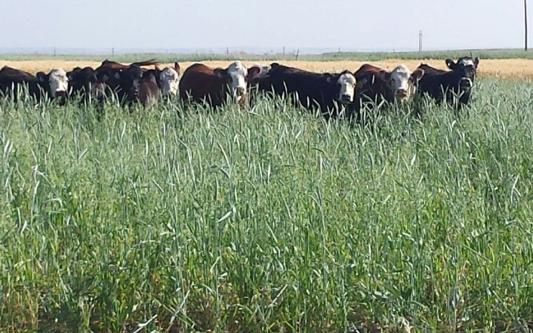 Program To Highlight Extending The Grazing Season With Cover Crops And Crop Residues