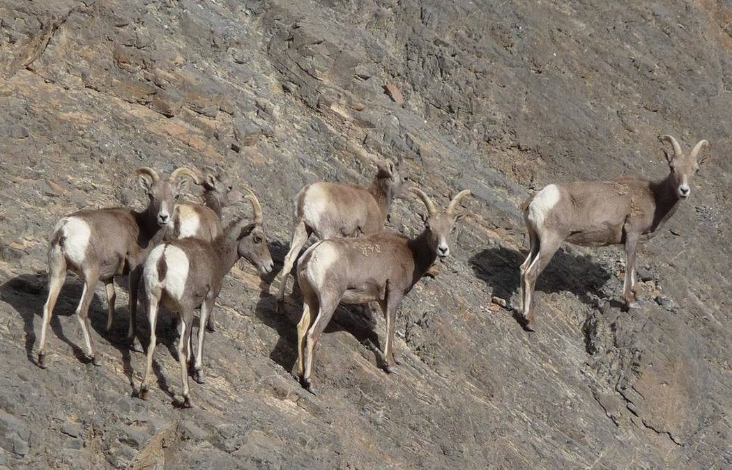 After roughly a century, bighorn sheep return to Pyramid Lake