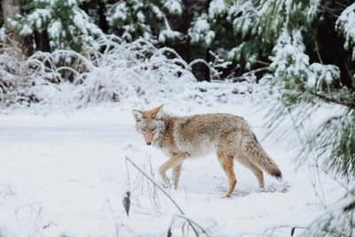 DEC Issues Guidance to Avoid Conflicts with Coyotes – Coyotes are here!!!