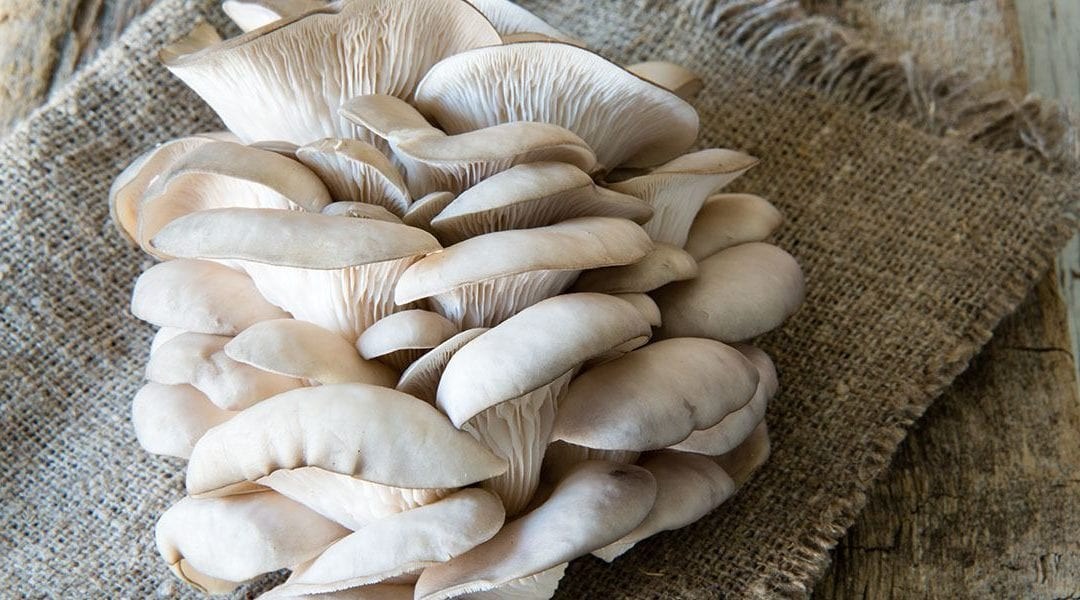 Sun-exposed oyster mushrooms boost TB patients' vitamin D levels, immune response