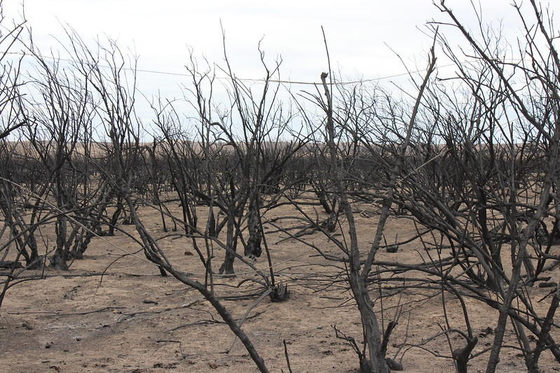 Trees Pose A Growing Wildfire Problem As They Take Over Kansas Grassland