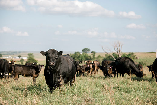 K-State, Industry Experts Outline Criteria for Buying Bulls