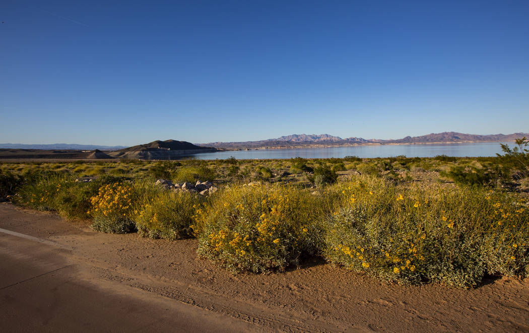 Lake Mead expects 'above average' year for wildflower blooms
