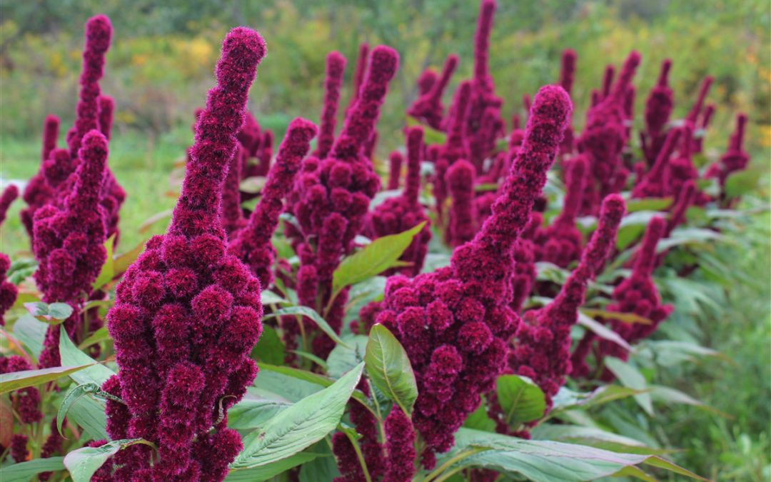 How to grow, use and store amaranth, the fiber-rich superfood