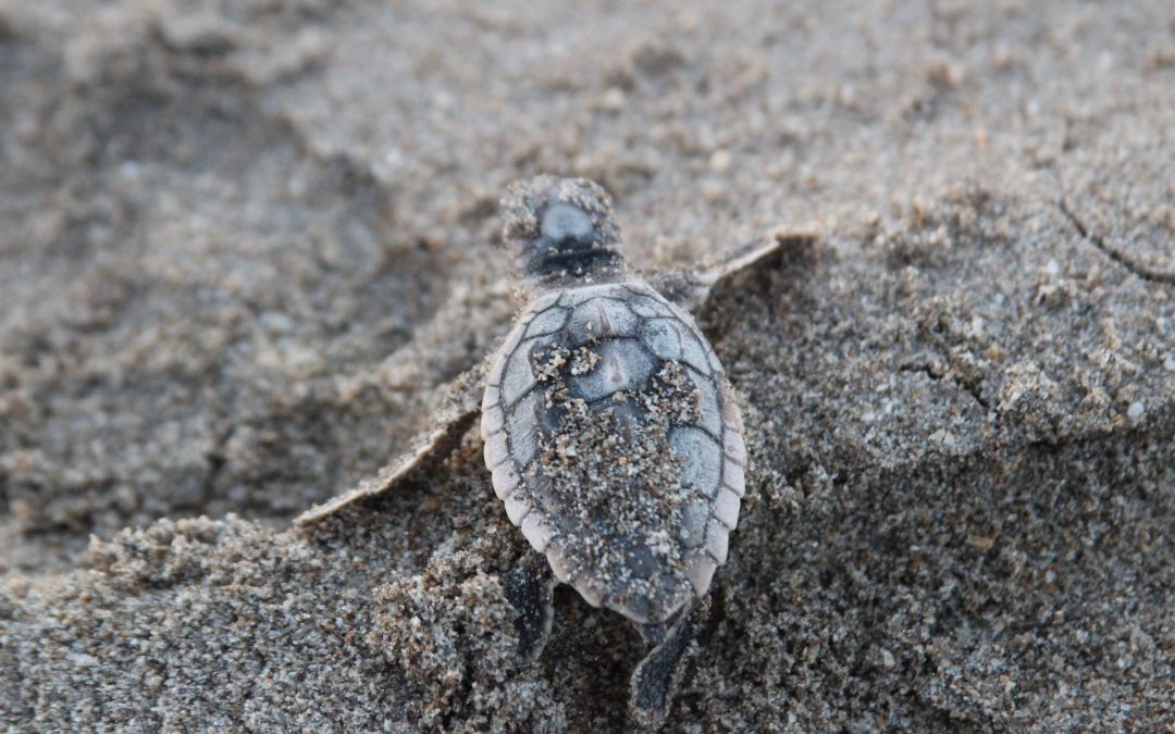 Give Sea Turtles a Safe Path on St. Lucie Beaches March 1 – Nov. 15
