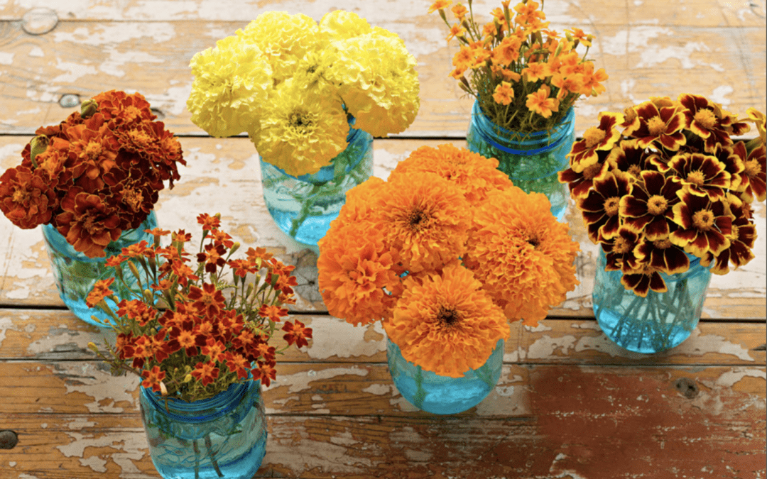 Marigolds possess a natural repellent against garden pests