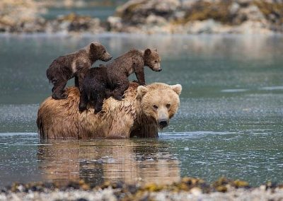 4284 New public land rules will let Alaska hunters kill bear cubs in dens [your]NEWS