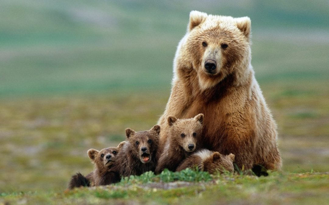 New public land rules will let Alaska hunters kill bear cubs in dens