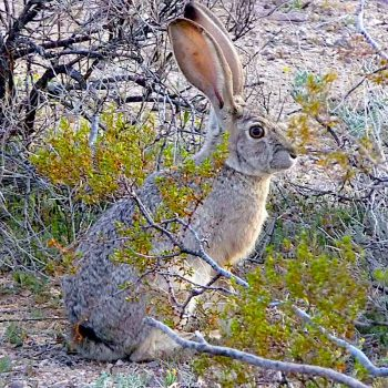 Nevada's wild rabbits also facing deadly virus, pandemic