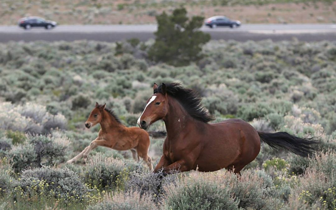 BLM roundup to target about 1,200 wild horses in Nevada