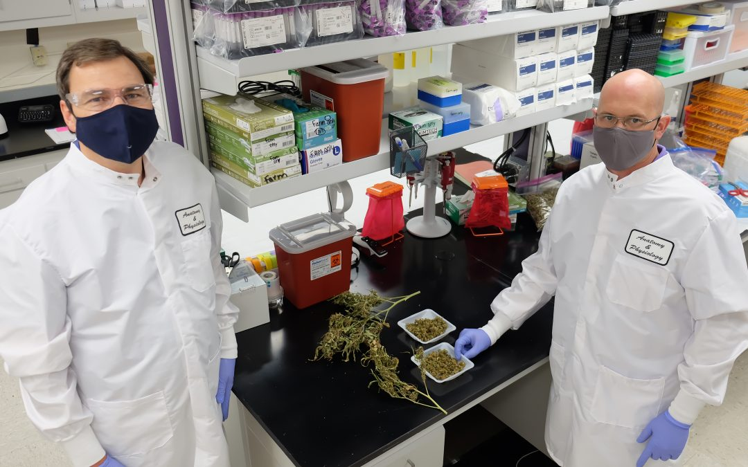 K-State Research Among First to Analyze Safety of Industrial Hemp as Cattle Feed