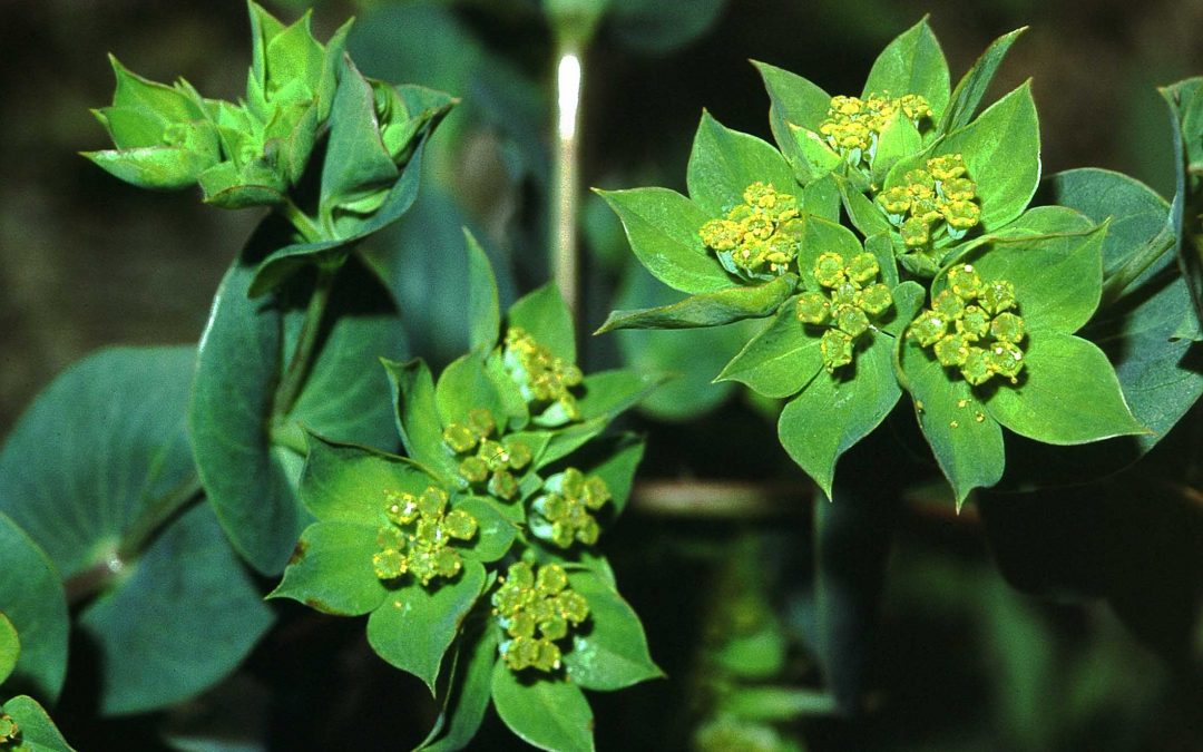 Bupleurum can help treat diabetic kidney injury: Study