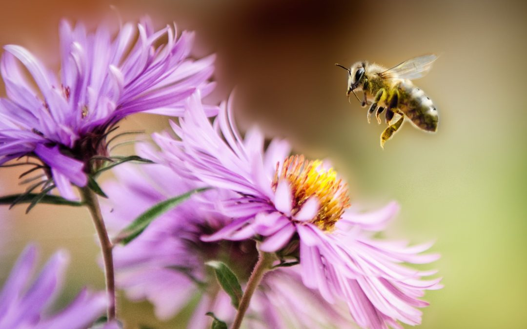 Positive poison: Purified honey bee venom could be used to treat osteoarthritis