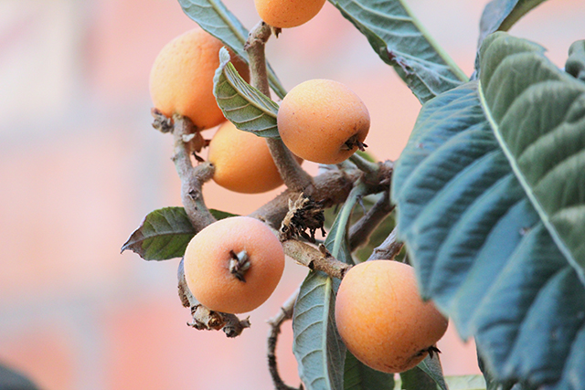 Loquats shown to have anti-diabetic properties