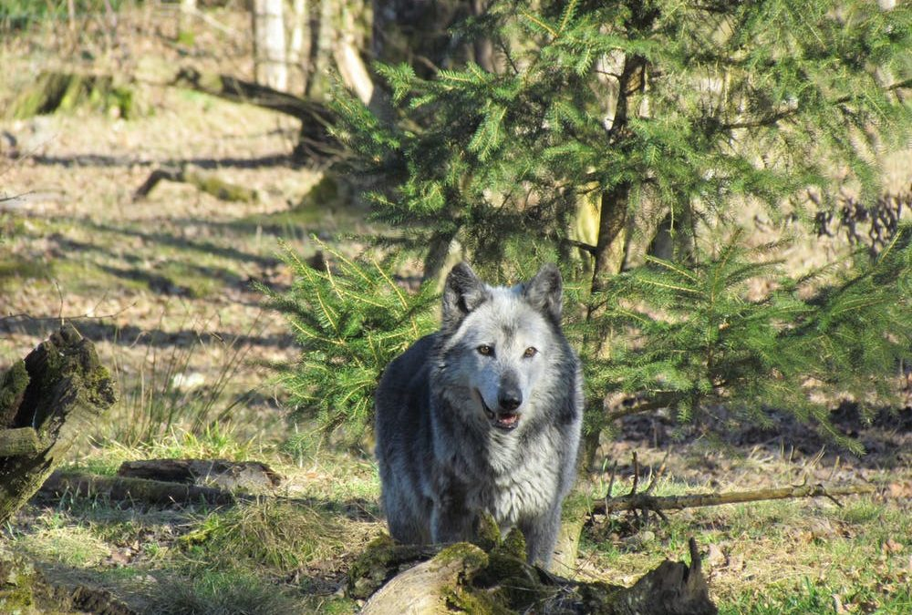 Gray Wolf Removed from Endangered Species List