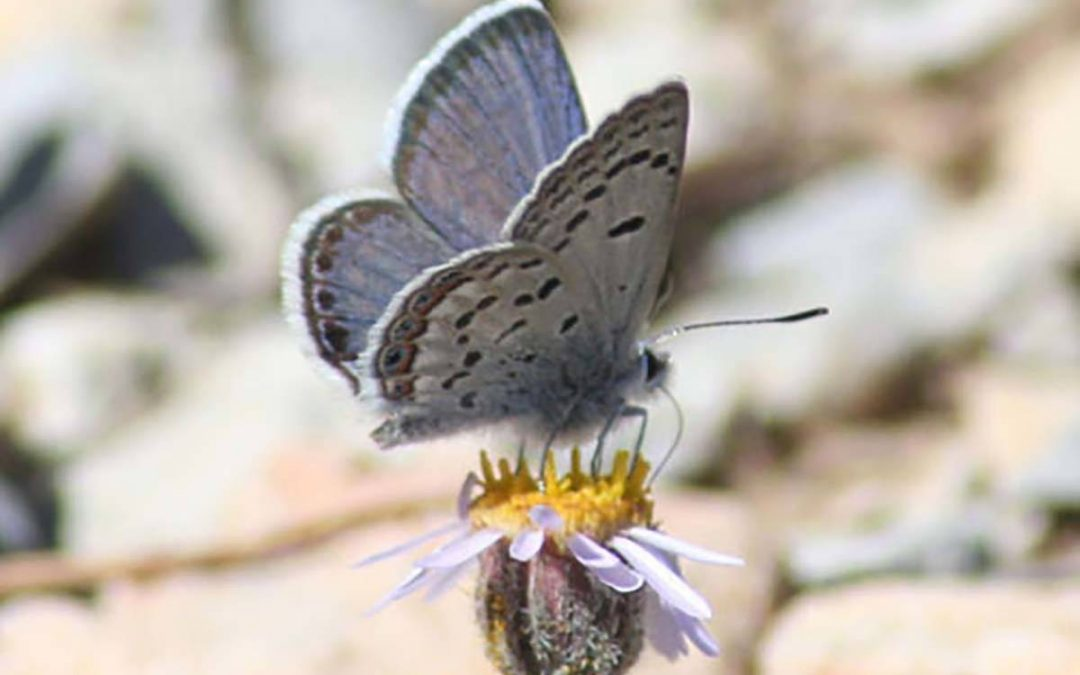 Lawsuit pits blue butterfly against Mount Charleston ski area