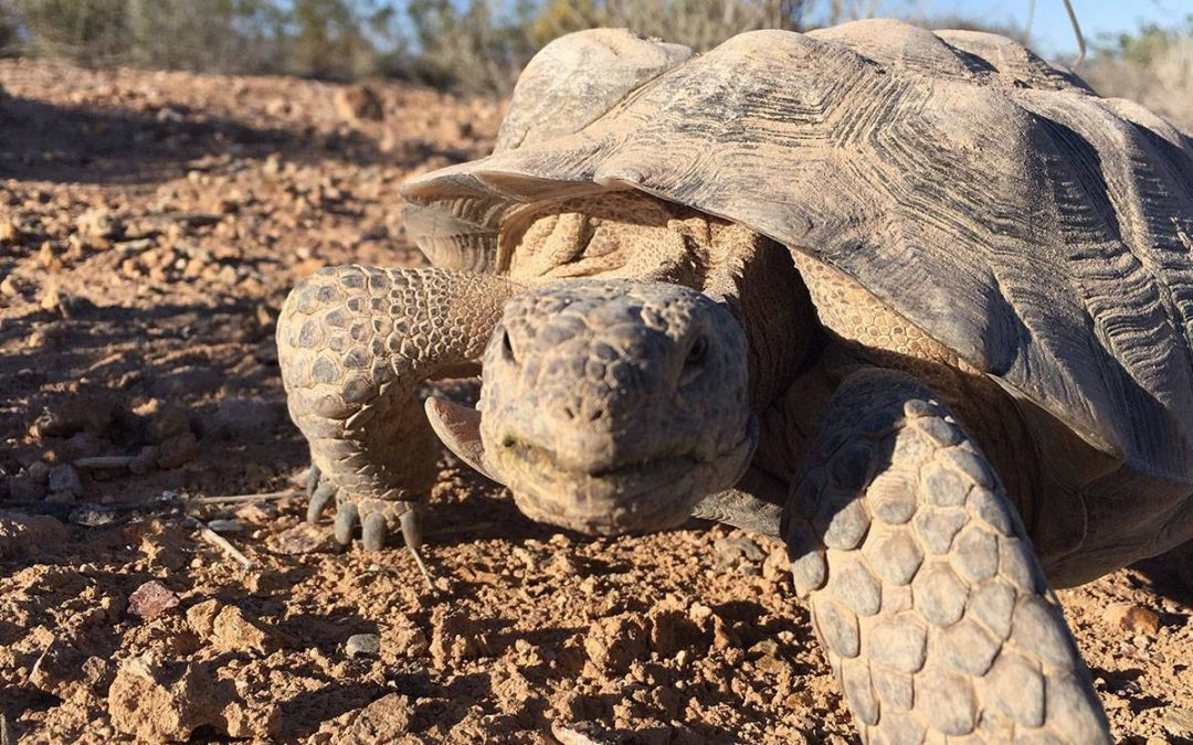 Mojave Max emerges from winter habitat, welcoming spring