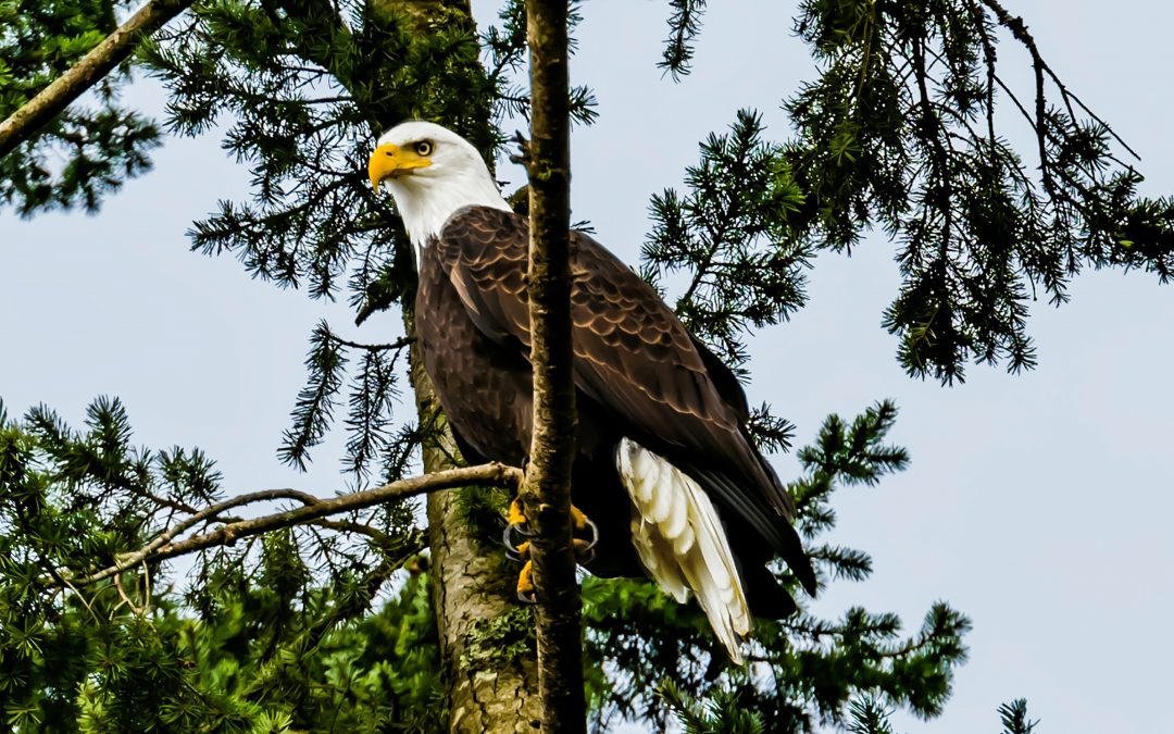 More than 80% of bald and golden eagles in the US have RAT POISON in their systems, study shows