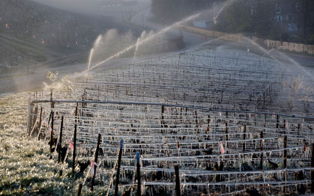 French winemakers set candles and straw ablaze to save vines from frost