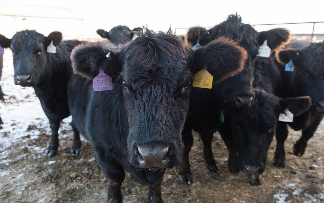Kansas State University-Developed US Animal Disease ID System Receives Tyson Support