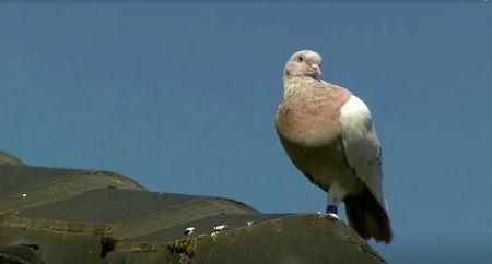 He's an Aussie: Joe the pigeon spared death as U.S. tag deemed fake