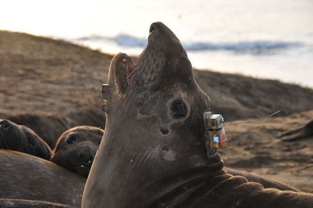 For deep-diving elephant seals, it takes lots of work to stay fat
