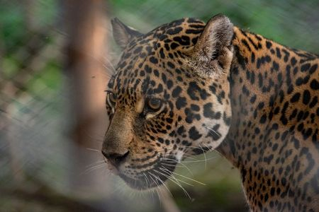 tagreuters.com2020binary_LYNXMPEGAI0W4-VIEWIMAGE Opposites attract: Wild and captive jaguars mate in Argentina to save species Environment [your]NEWS